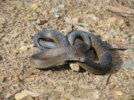 Eastern Brown Snake Warrandyte