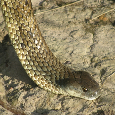 Tiger Snake Lower Plenty