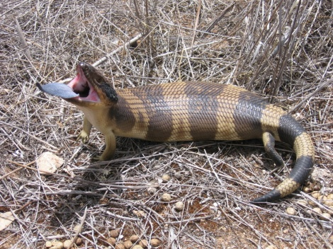 Western Blue Tongue Lizard outback South Australia