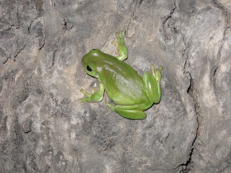 Green Tree Frog Darling River N.S.W