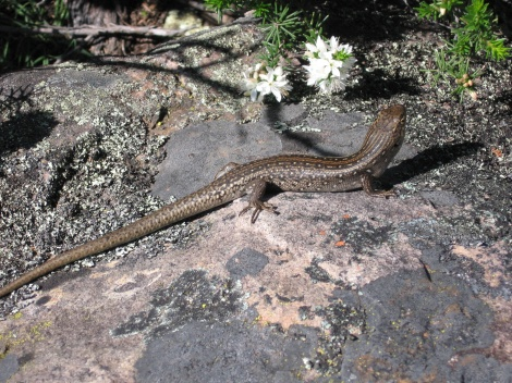 Skink Grampians National Park Vic