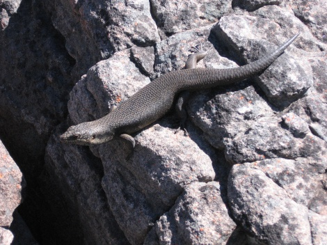 Black Rock Skink Grampians