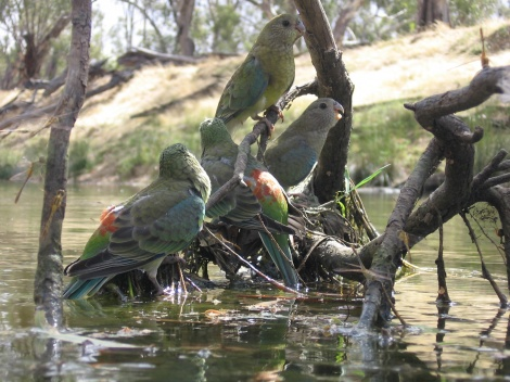 Red-Rumped Parrots Lachlan River outback N.S.W