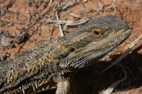 Bearded Dragon Mungo National Park N.S.W
