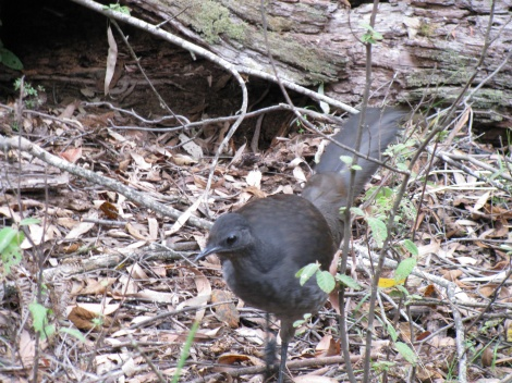 Lyerbird High Country Victoria