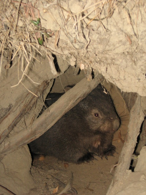 Wombat emerging from a burrow Warrandyte