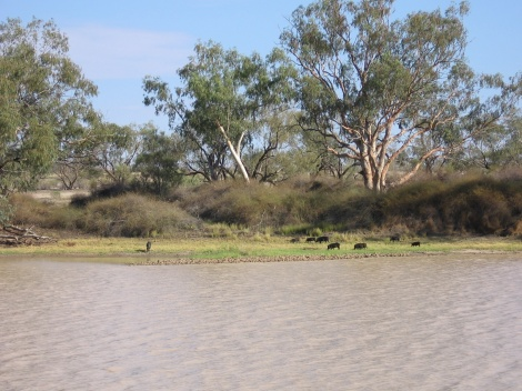 Feral Pigs Cooper Creek South Australia