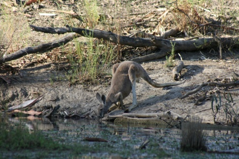 Eastern Grey Kangaroo Lindsay River Murray Sunset National Park Vic