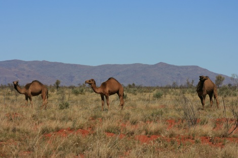 Wild Camels Tanami Track Northern Territory