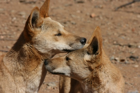 Dingoes (pure bred) Tanami Track Northern Territory