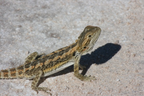Bearded Dragon Simpson Desert
