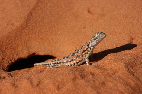 Painted Dragon French Line Simpson Desert