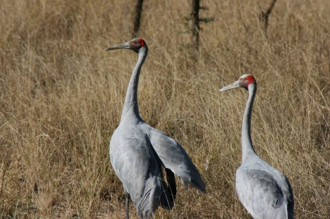 Brolga pair Gulf of Carpentaria Queensland.
