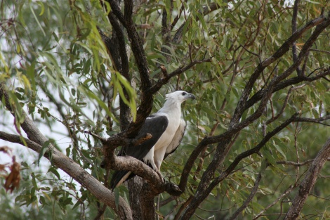 White Bellied Sea Eagle Keep River Western Australia.