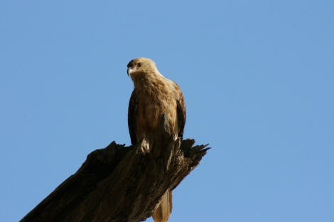 Whistling Kite Drysdale River W.A.