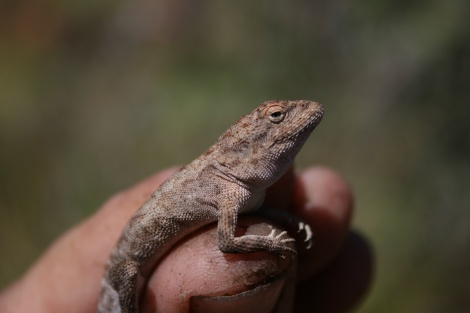 Dragon Lizard species unknown W.A.