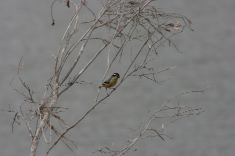 Striated Pardalote W.A