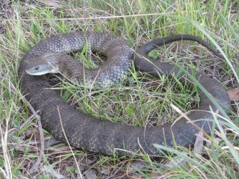 Tiger Snake Templestowe captured and removed.