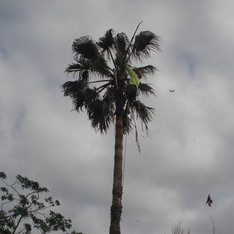 Palm Tree Removal