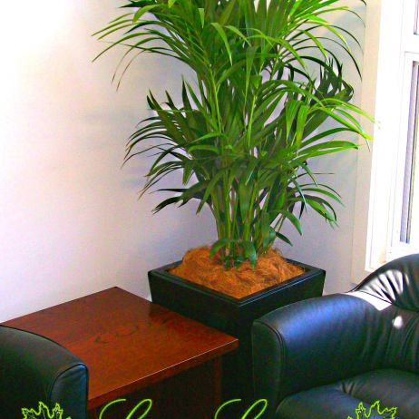 Bamboo Palm - Indoor Plant