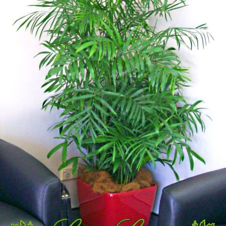 Bamboo Palm Indoor Plant