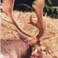 This nice looking buck was the result of a sit and wait