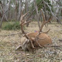 A well presented red deer