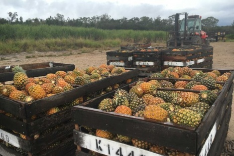 FARMER LEAVES PINEAPPLE INDUSTRY IN ROUGH END TO FAMILY TRADITION