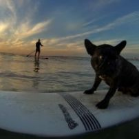 Boston terrier on his board at sunrise.