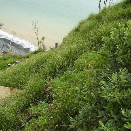 Steep Cliff Vetiver planting  (Doubtless Bay)