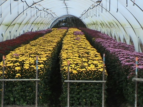 Flowers in Greenhouses