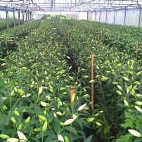 Lilies in Greenhouse