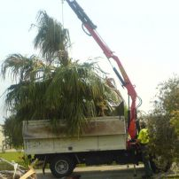 Removal of Large Palms