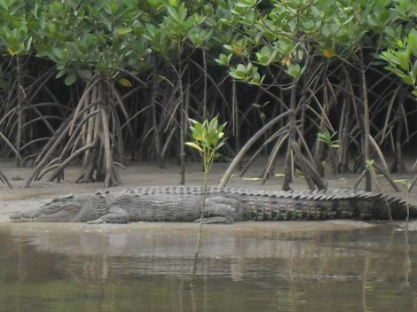 Crocodile spotted on Wilderness Cruise