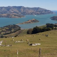 One of our favourite scenic stops 1500ft above Akaroa on the volcanic crater rim......by Nick Groves