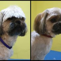 ShihTzu cross