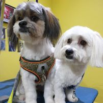 Maltese cross ShihTzu