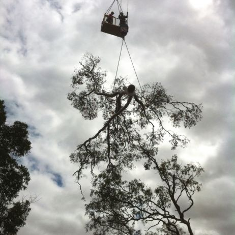 Bowhill (4) Gum Tree Removal