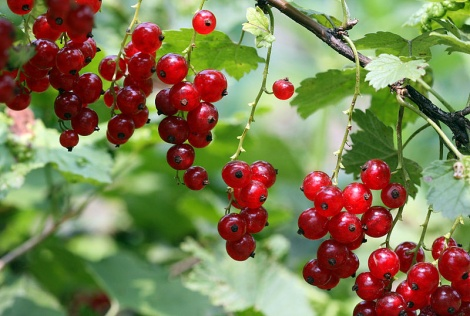 Red Currants (___g)