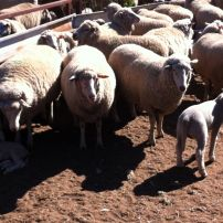 Maiden Ewes - 126% lambing
