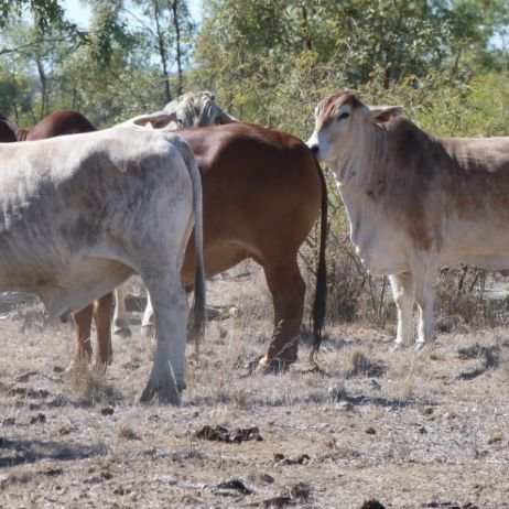 Central Queensland Cattle
