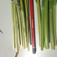 Which Stems will better feed big heads