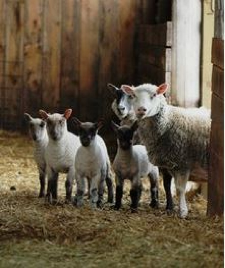 Caring for SHEEP and LAMBS - PENGUIN VETERINARY CENTRE