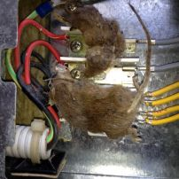 Mummified Mice in Underbench Oven