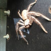 Large Huntsman Spider