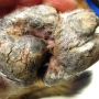 Hepatocutaneous syndrome (MEN) dog foot