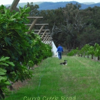 Orchard netting process commencement...