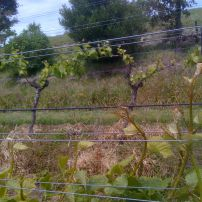 Bentwood Vineyard