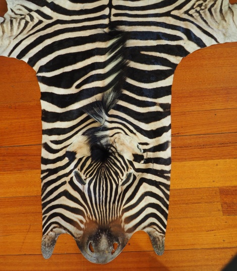 A RARE AND BEAUTIFUL GENUINE ZEBRA HIDE - ETHICALLY SOURCED NATURAL BEAUTY