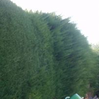 Macrocarpa Hedge before